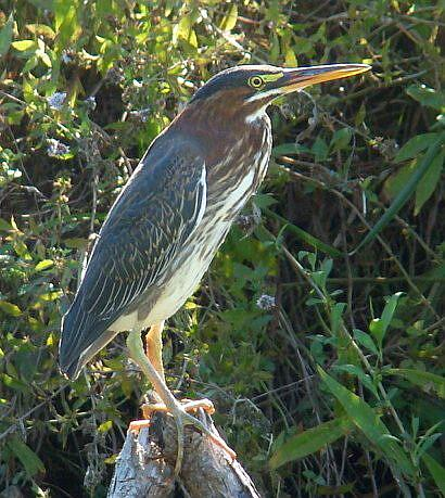 Art: Green Heron by Artist Leea Baltes