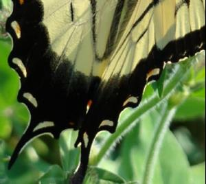 Detail Image for art Tiger Swallowtail