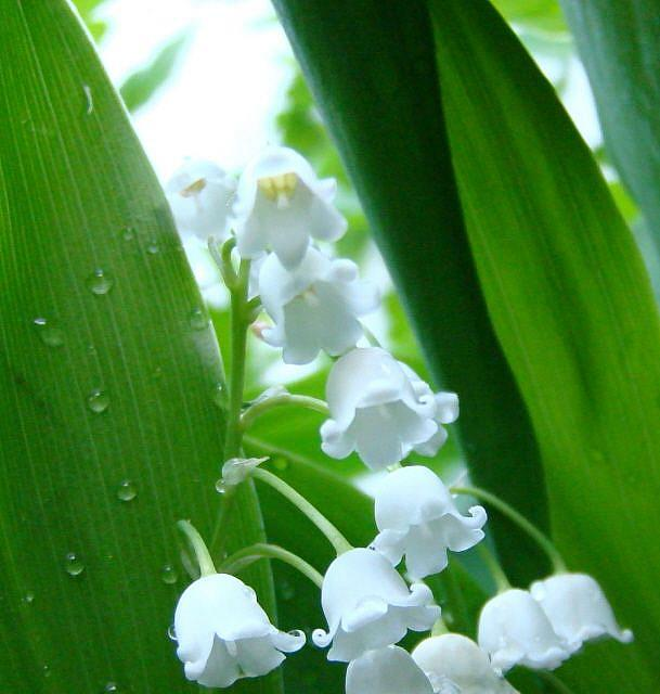 Art: Lily of the Valley 2010-D by Artist Leea Baltes