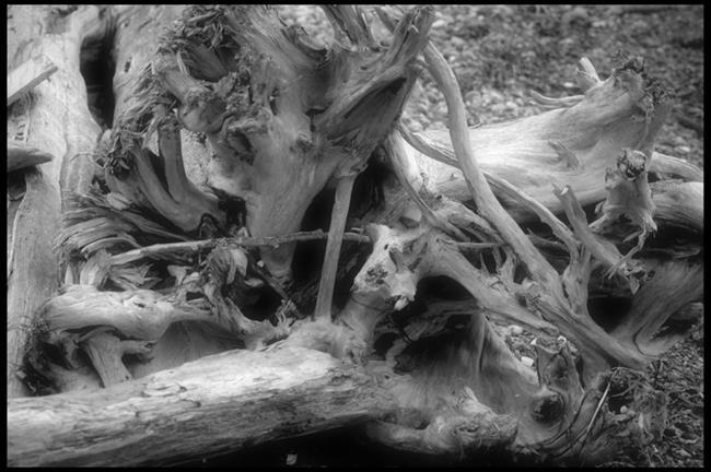 Art: Driftwood by Artist Revere J