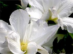 Art: White Clematis by Artist Justin Lowe