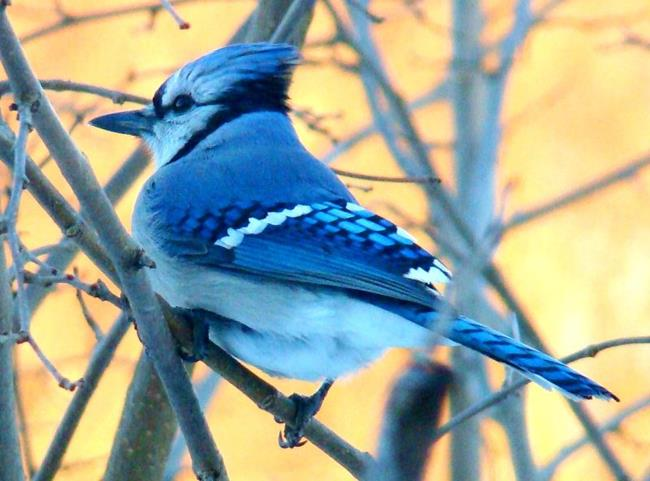 Art: Bluejay in the Morning Sun by Artist Leea Baltes