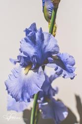 Art: Periwinkle Iris by Artist Leanne Wildermuth