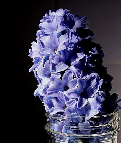 Art: Hyacinth in jar by Artist Windi Rosson