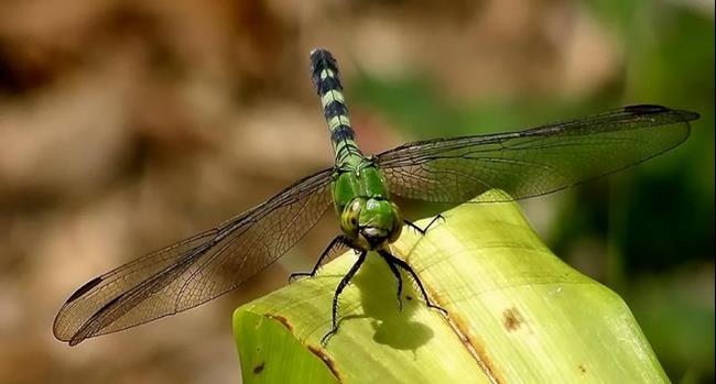 Art: July Dragonfly by Artist Windi Rosson