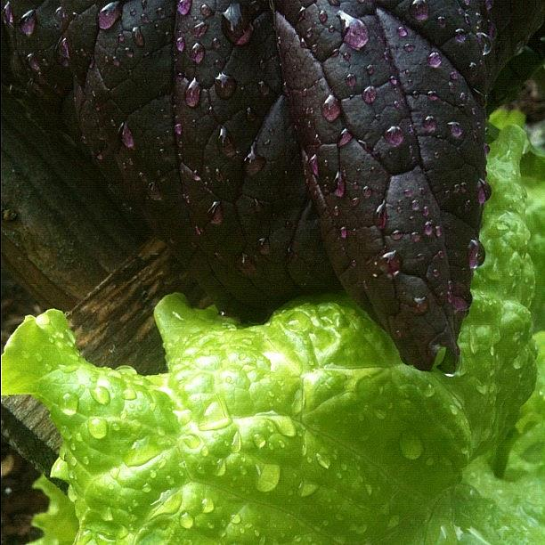 Art: Lettuce After the Rain by Artist Amie R Gillingham