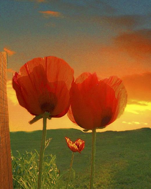 Art: Morning Poppies by Artist Carolyn Schiffhouer