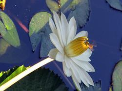 Art: Waterlily in Figi by Artist Diane Funderburg Deam