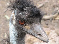 Art: Muddy Emu by Artist Diane Funderburg Deam