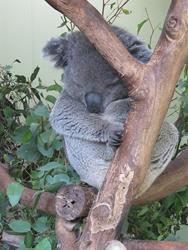 Art: Sleepy Koala in Melbourne Australia by Artist Diane Funderburg Deam