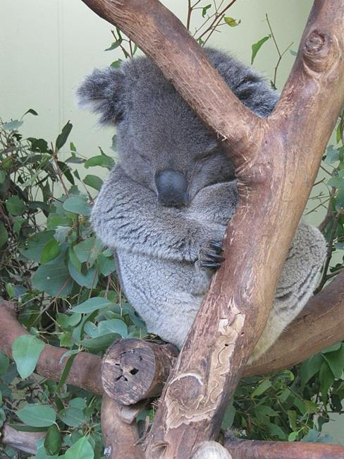 Art: Sleepy Koala in Melbourne Australia by Artist Diane Funderburg Deam
