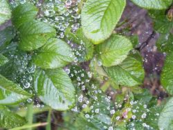 Art: Rain on webs by Artist Carroll