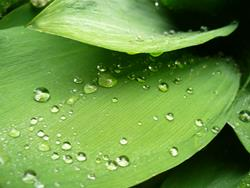 Art: Raindrops on leaves by Artist Carroll