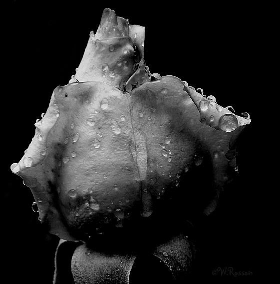 Art: Rain on Roses 5 by Artist Windi Rosson