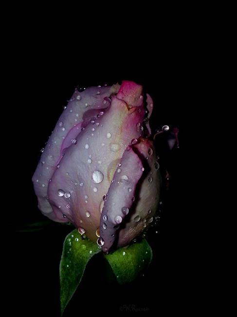 Art: Rain on roses 2 by Artist Windi Rosson