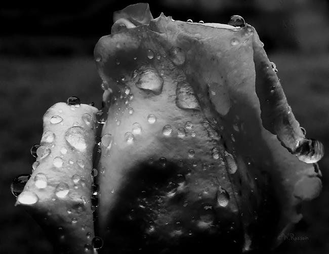 Art: Rain on roses 3 by Artist Windi Rosson