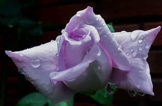Art: rain on roses 1 by Artist Windi Rosson