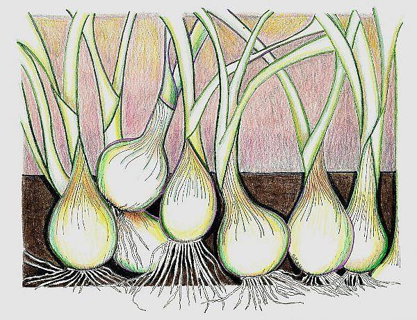 Art: Onions-A Rhythm Of Their Own by Artist Sherry Key