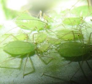 Detail Image for art Aphid Family