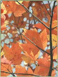 Art: Orange Maples by Artist Harlan