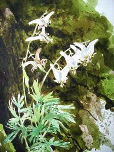 Detail Image for art Dutchman's Breeches