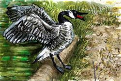 Art: Canada Goose by Artist Laura Ross