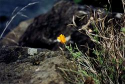Art: California Poppy on the Oregon Coast by Artist Marcine (Marcy) Dillon