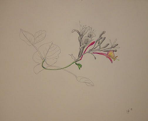 Art: Pink Honeysuckle Study by Artist Caroline Lassovszky Baker