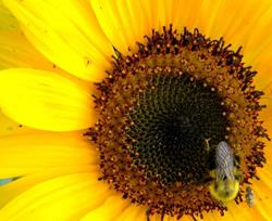 Art: Sunflower and the Bee by Artist pamela jean lacasse