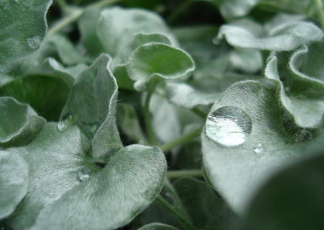 Art: Silver falls dichandra in the rain by Artist pamela jean lacasse