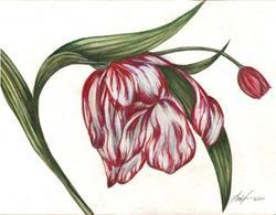 Art: Tulip Fading Glory by Artist Alma Lee