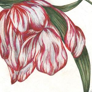 Detail Image for art Tulip Fading Glory