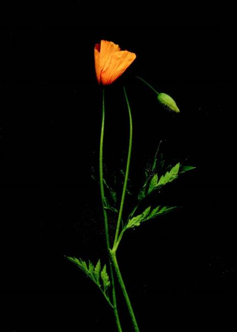 Art: Orange Poppy with Kid by Artist Gabriele Maurus