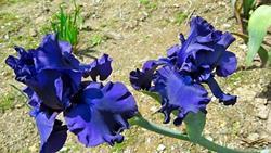 Art: 2 Blue Irises by Artist Shane Darren Ervin