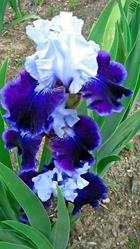 Art: Blue and White Iris by Artist Shane Darren Ervin
