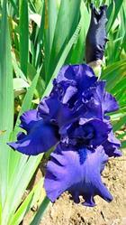 Art: Blue Iris by Artist Shane Darren Ervin