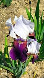 Art: Purple and White Iris by Artist Shane Darren Ervin