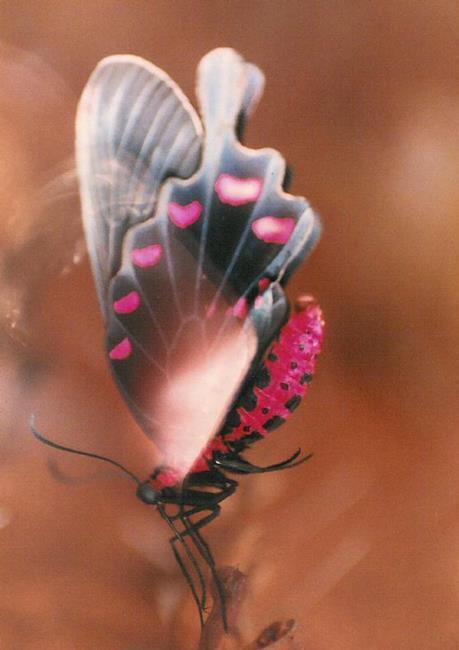 Art: Butterfly Flutter by Artist Shawn Marie Hardy