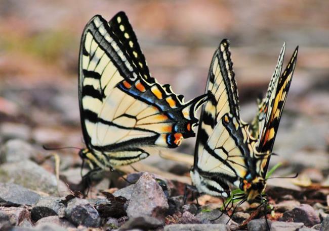 Art: Mating Swallowtails by Artist Stephanie M. Daigle