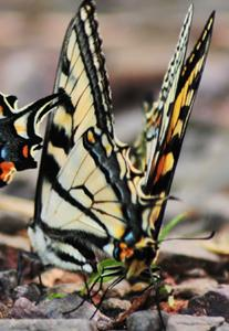 Detail Image for art Mating Swallowtails