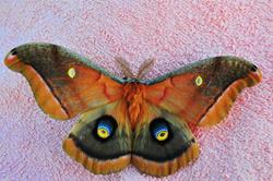 Art: Antheraea Polyphemus on bath towel by Artist Stephanie M. Daigle