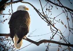 Art: Photography : Eagle Portrait by Artist Leanne Wildermuth