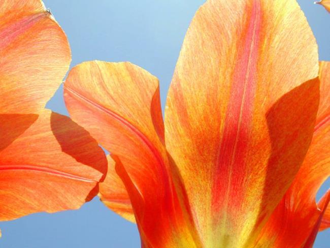 Art: Tulips I by Artist Shawn Marie Hardy
