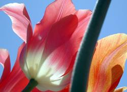 Art: Tulips II by Artist Shawn Marie Hardy