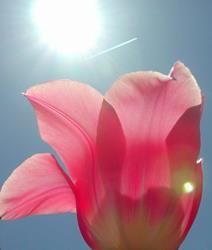 Art: Tulips III by Artist Shawn Marie Hardy