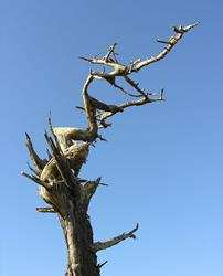 Art: Dead tree at Point Arena by Artist Muriel Areno
