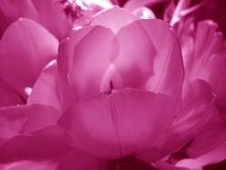 Art: Potted Pink by Artist Rebecca M Ronesi-Gutierrez