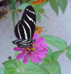 Art: Butterfly On My Flowers by Artist Terri L West