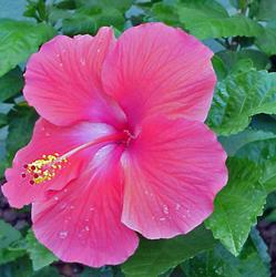 Art: Pink Hibiscus SOLD by Artist Terri L West