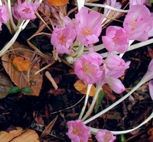 Detail Image for art Autumn Crocus